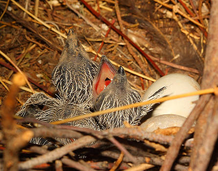 Baby roadrunners in Nest by Old Pueblo Photography