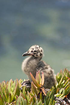 Baby Seagull Waiting by Bob and Jan Shriner
