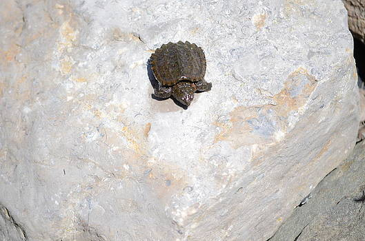 Baby Snapping Turtle by Jennifer  King