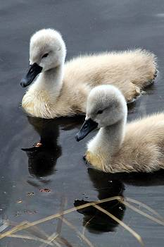 Baby Swans 1 by Matthew Grice