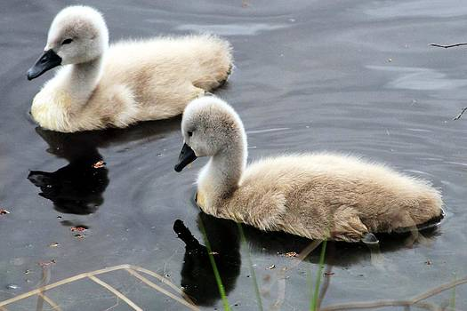 Baby Swans 2 by Matthew Grice