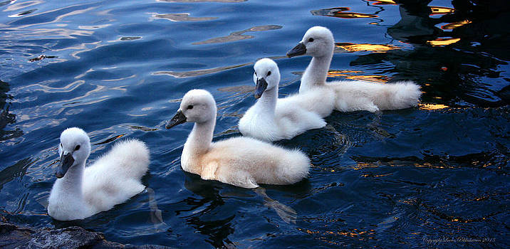 Baby Swans by Leena Pekkalainen