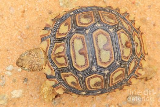 Hermanus A Alberts - Baby Tortoise