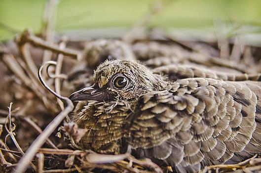 Baby Turtledove by Shirley Tinkham