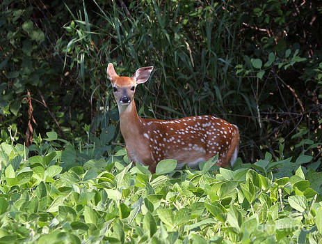 Baby whitetail by Lori Tordsen