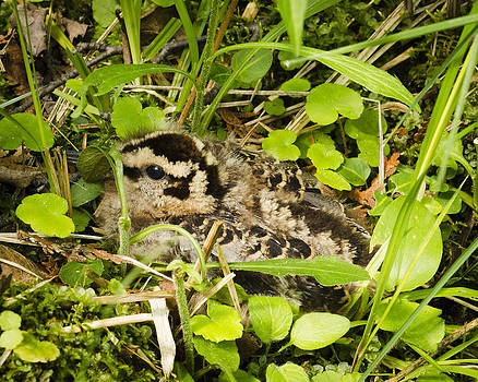 Baby Woodcock by Thomas Pettengill