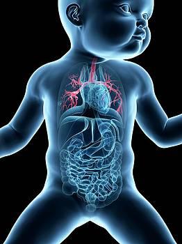 Baby's Lungs Anatomy by Sebastian Kaulitzki
