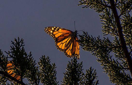 Randy Straka - Back Lit Monarch