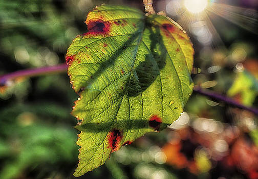 Back Lite Fall Leave by Ray Still