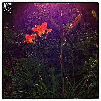 Backlit Day Lilies by Paul Cutright