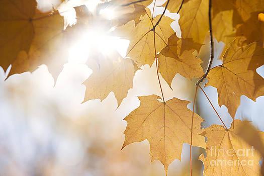 Elena Elisseeva - Backlit fall maple leaves in sunshine