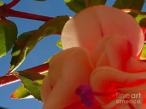 Backlit Fuchsia by Katherine Karsten