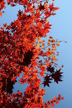Backlit Maple Leaves by Wendy  Beatty