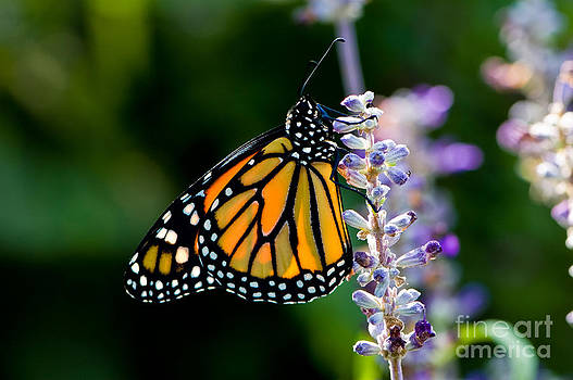 Oscar Gutierrez - Backlit Monarch Butterfly