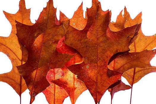 Chris Bordeleau - Backlit Oak Leaves