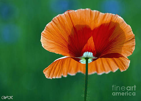 Backlit Poppy on Green by Wanda Krack