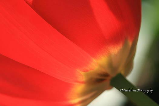 Backlit Red Tulip by Paul Herrmann
