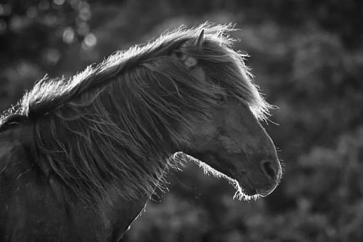 Backlit Wild Horse in Black and White by Bob Decker