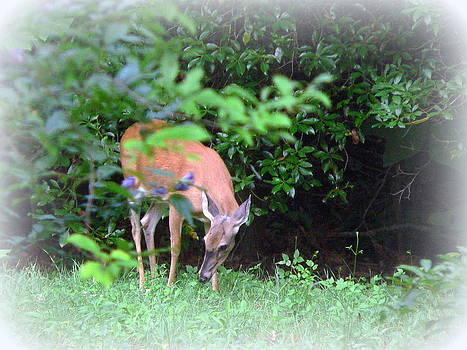 Backyard Whitetail Deer 2 by Jo Anna Wycoff
