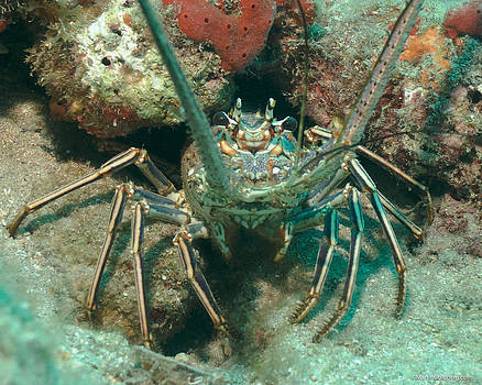 Bahamian Spiny Lobster by Martin Goldberg