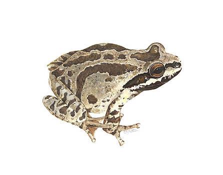 Baja California Treefrog by Cindy Hitchcock