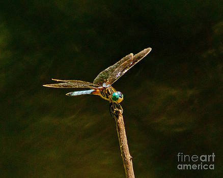 Stephen Whalen - Balancing Dragonfly