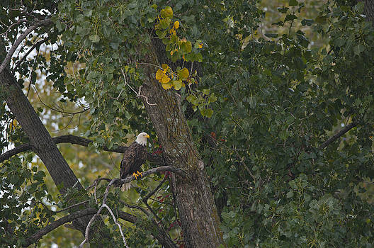 Bald Eagle - 7706 by Jerry Owens