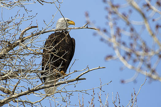 Bald Eagle and Branches by Eric Nielsen