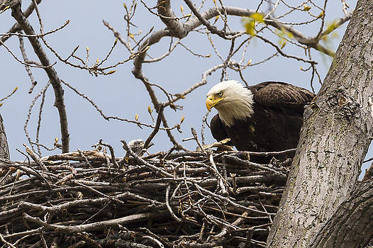 Jack R Perry - Bald Eagle and Eaglet
