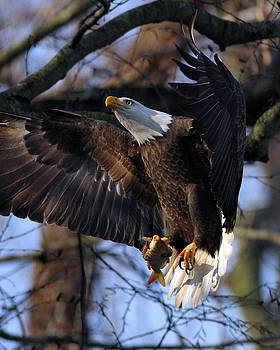 Bald Eagle by Angel Cher