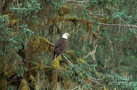 Art Wolfe - Bald Eagle