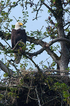 Bald Eagle At Nest by Don Baccus