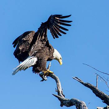 Bald Eagle by Benjamin King