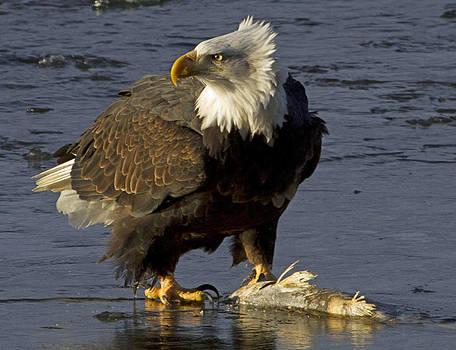 Dee Carpenter - Bald Eagle