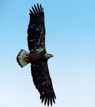 Bald Eagle Forever by Jack  Martin