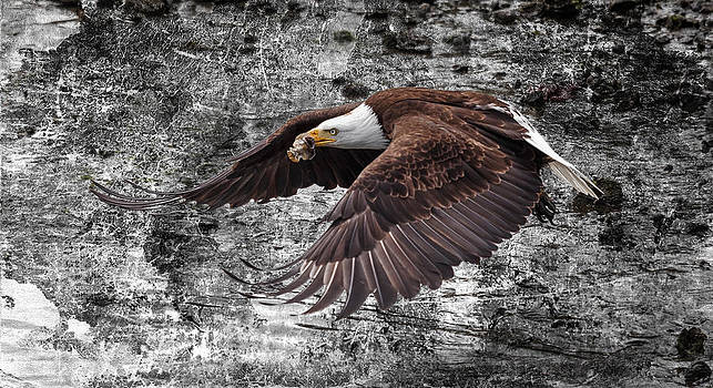 Wes and Dotty Weber - Bald Eagle In Flight