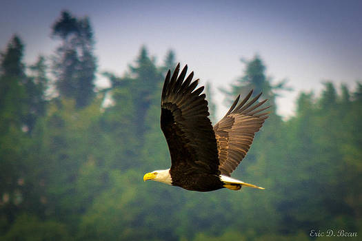 Bald Eagle in Flight by Eric Bean