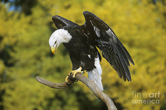 Dave Welling - Bald Eagle in Perch Wildlife Rescue