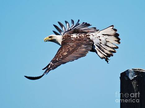 Bald Eagle in Ucluelet by William Wyckoff