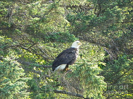 Bald Eagle by Jennifer Kimberly