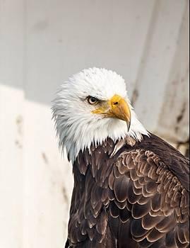 Bald Eagle by Jim Koniar