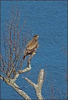 Bald Eagle by Karen Harper