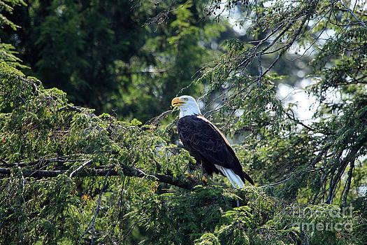 Bald Eagle by Kathy Eastmond