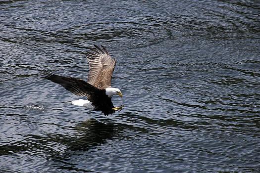 Bald Eagle Landing a Free Lunch by Gladys Turner Scheytt