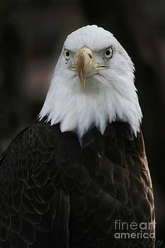 Bald Eagle by Lynn Jackson