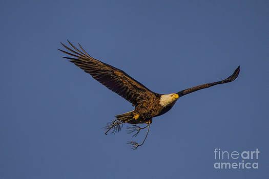 Barbara Bowen - Bald Eagle nesting