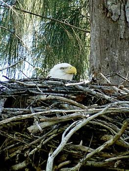 Frederic BONNEAU Photography - Bald Eagle Nesting