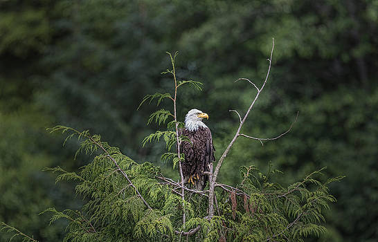 Nathan Mccreery - Bald Eagle on a Hemlock Tree