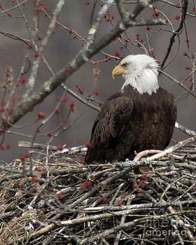 Bald Eagle On Nest by Deborah  Smith