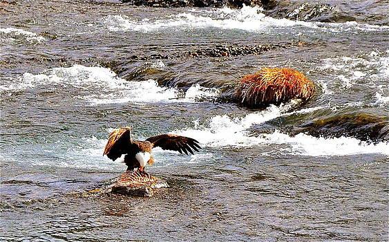 Bald Eagle on River by Mark Lemon